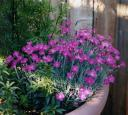 Roof deck dianthus